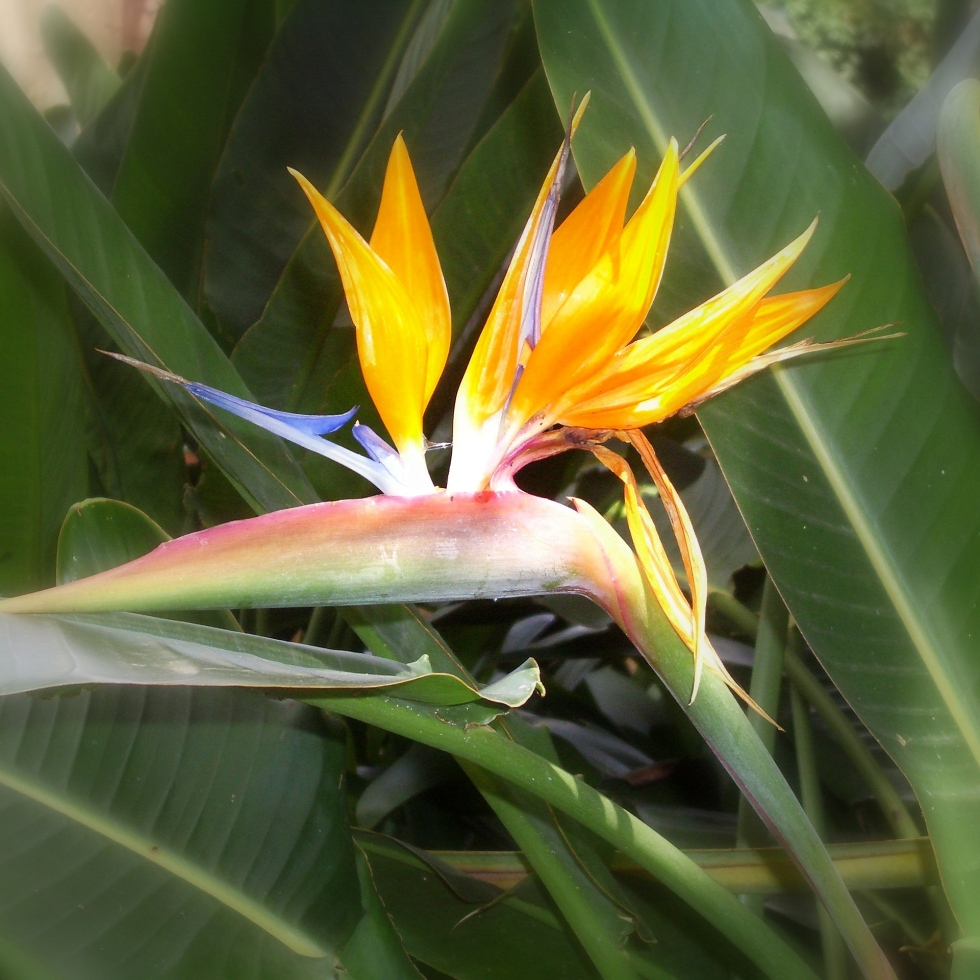 Birds of Paradise, Tenerife