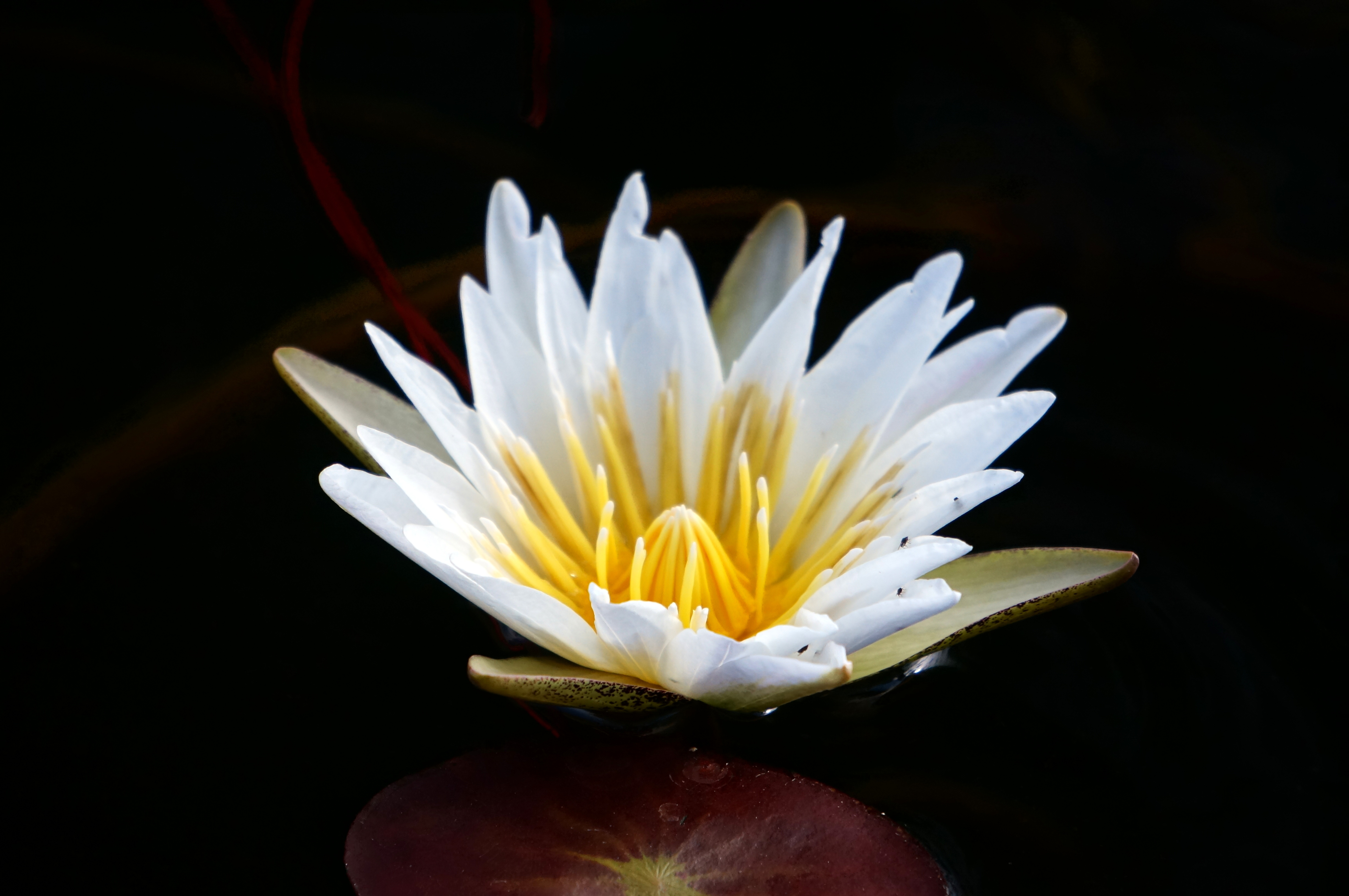 African Water Lilies Travel With Intent