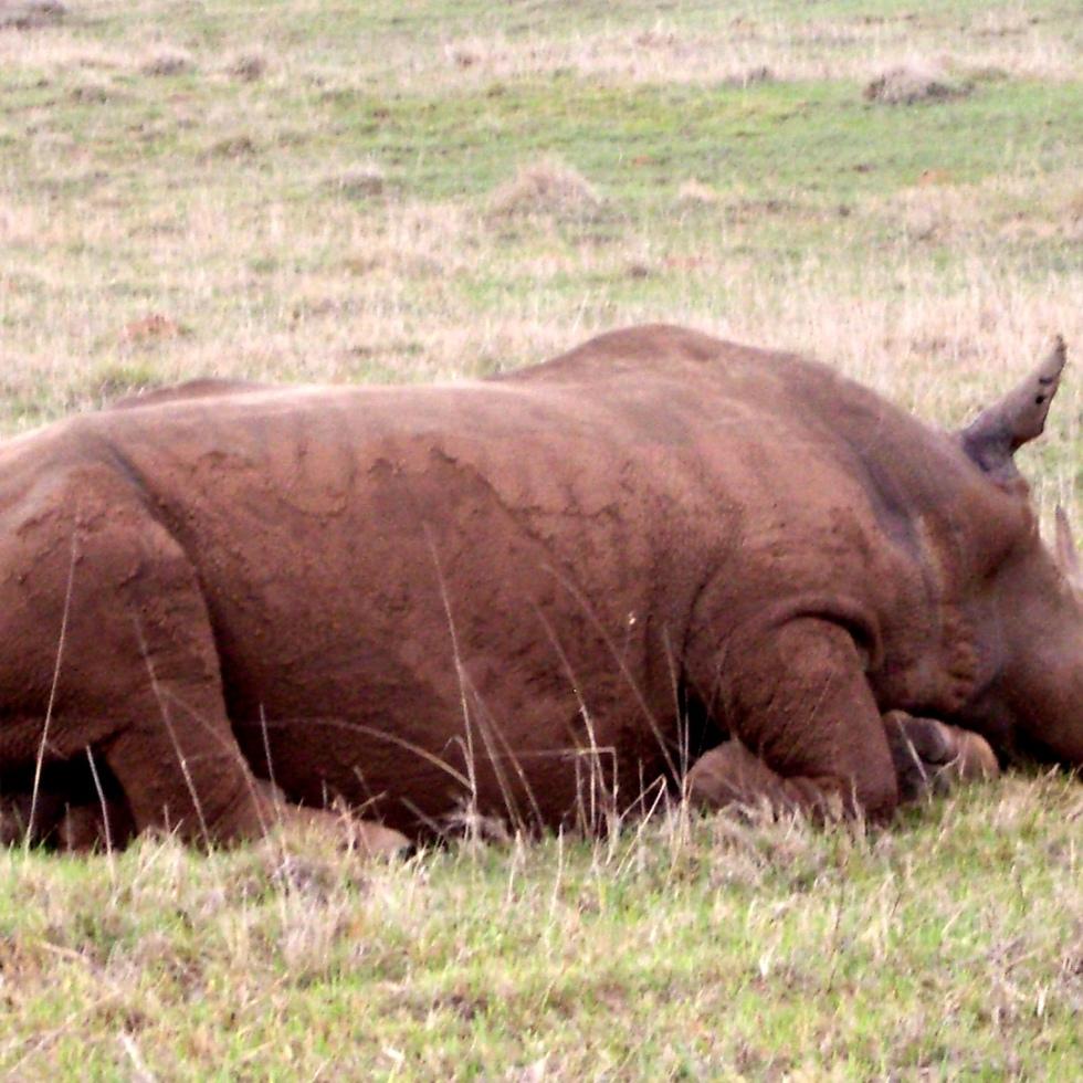 Muddy White Rhino, South Africa