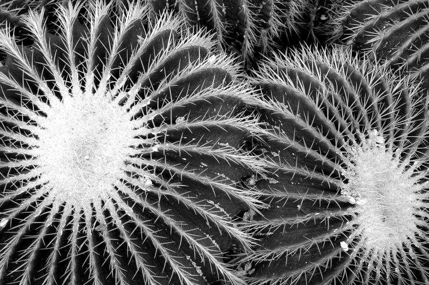 Echinocactus grusonii, Kew Gardens