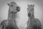 Horses in Camargue - new edit