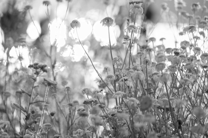 Daisies in hyde Park - new edit
