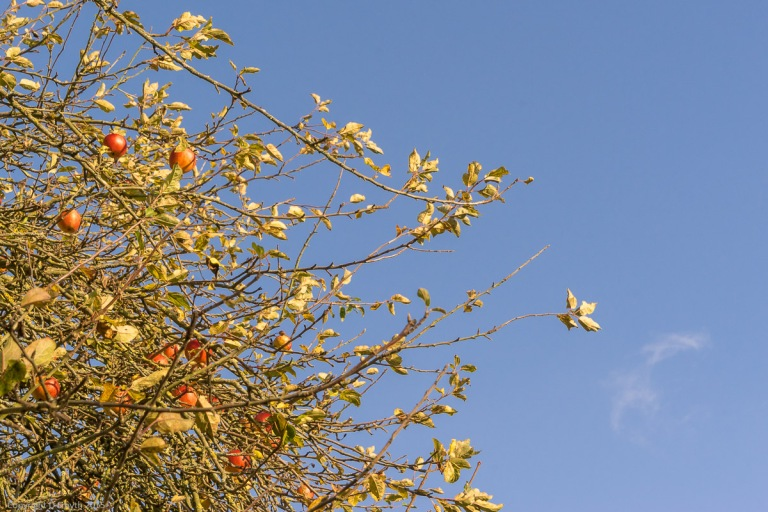Autumnal Apples in Hertfordshire