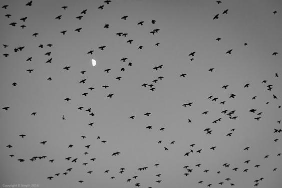 Starling murmuration, Belfast