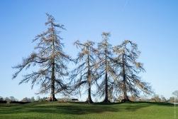 Four trees in Verulamium Park