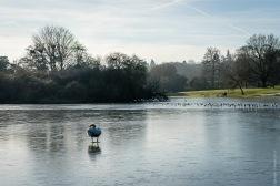 Frozen lake in Verulamium Park