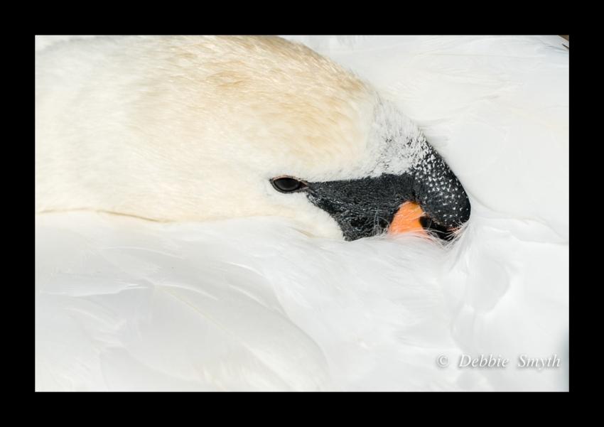print swan.jpg