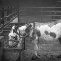 Donkeys in the rain