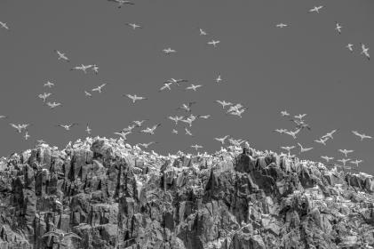 Gannets at Bass Rock, Scotland