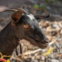 Nizwa goat market