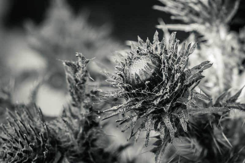 budding thistle in black and white