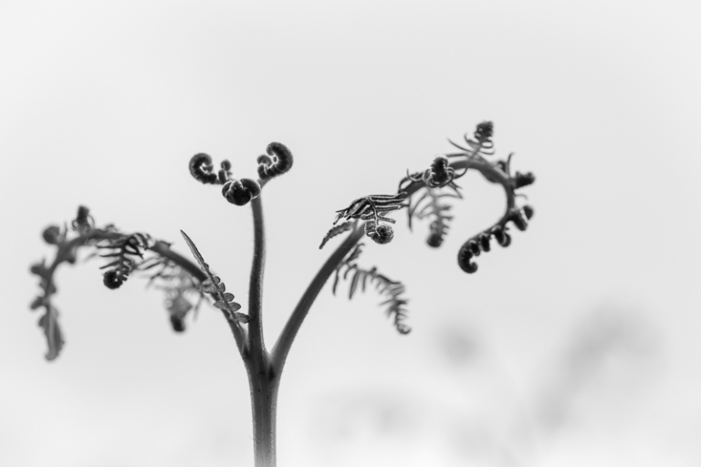 Black and white close up of a fern unfurling