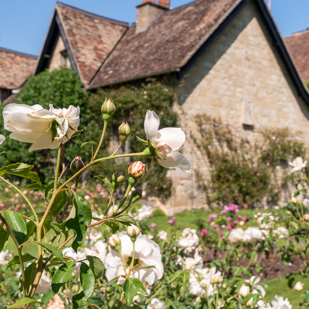 White roses and Anglesey Abbey behind