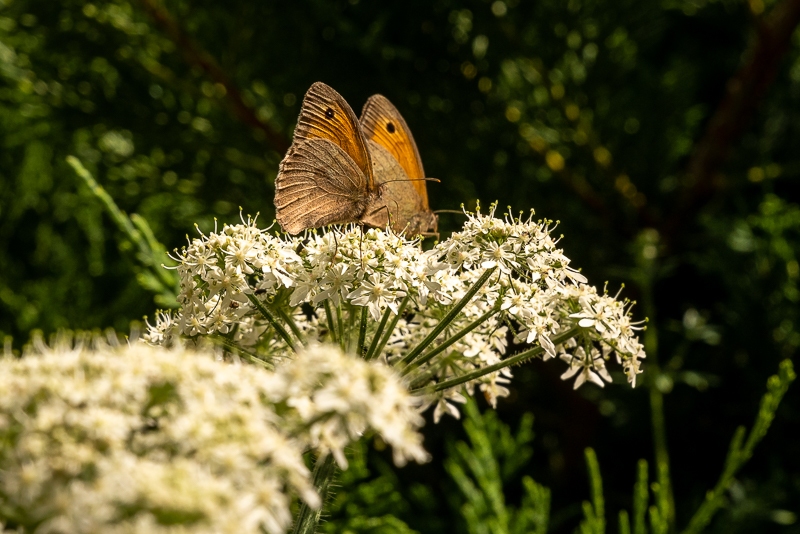 two meadow brown butterflies, with orange forewing and black eye