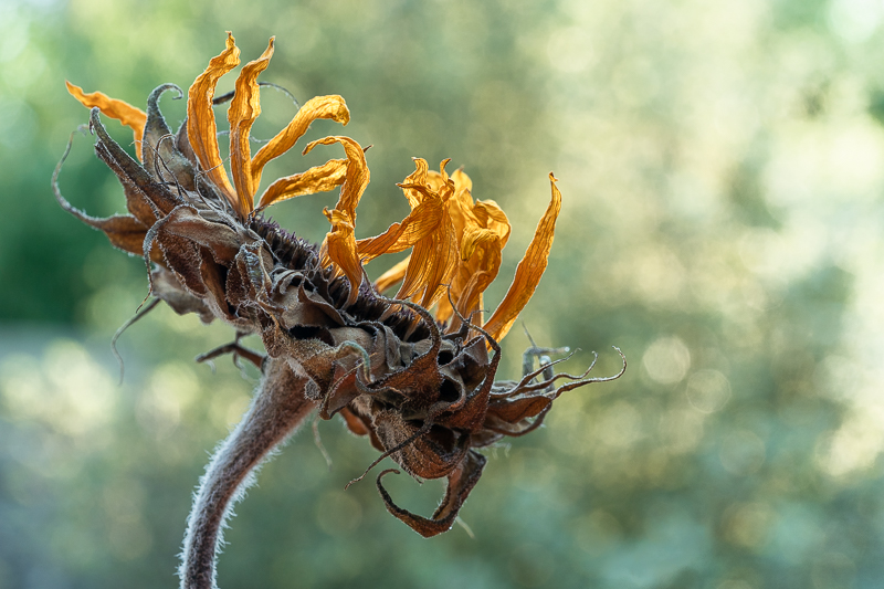 An ageing sunflower
