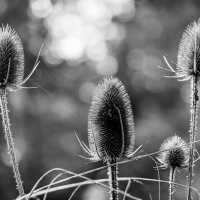 Spiky teasels
