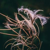 Autumn fluff