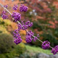 Violet beads at Kew