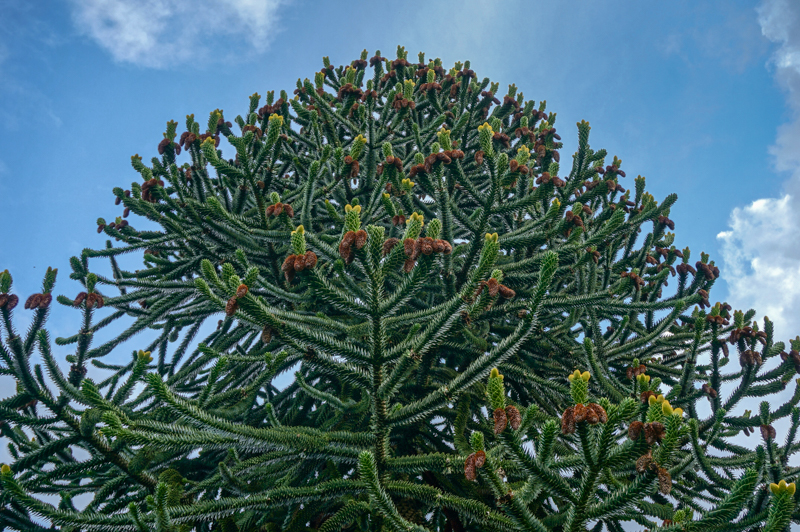 top of a monkey puzzle tree