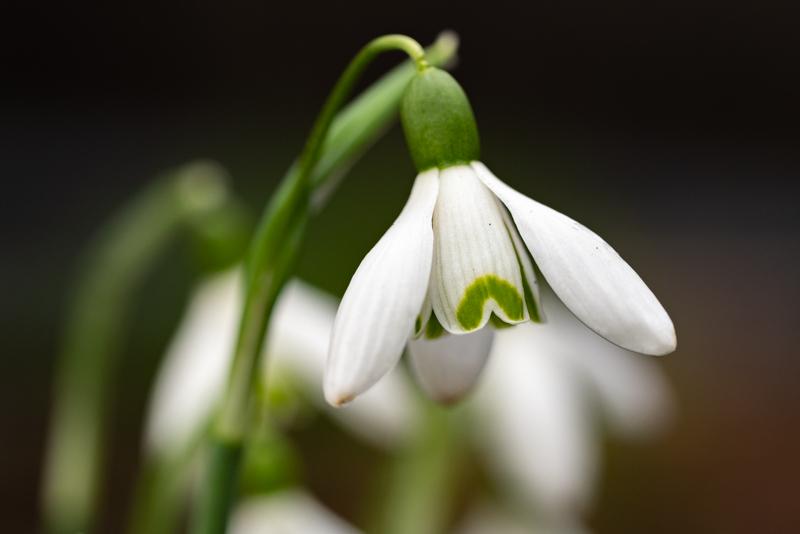 close up of snowdrop
