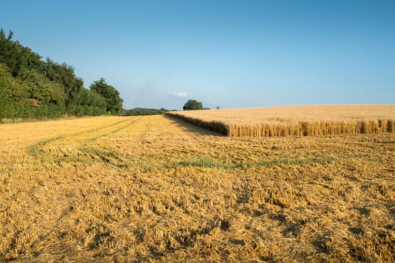 the start of harvest in St Albans