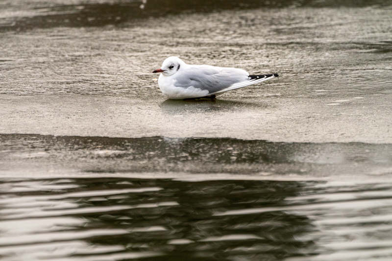 gull an an icy lake