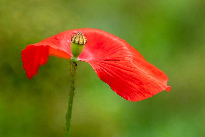 red poppy missing a petal