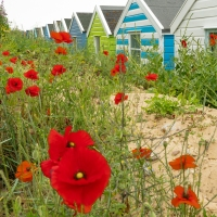 Poppies in the dunes
